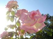 roses d'été fleurissent Atlantico