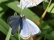 papillons mutants découverts après Fukushima