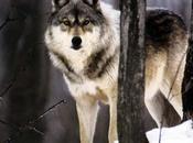 philosophe loup