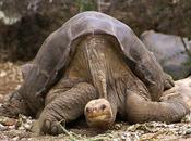 Extinction dernière tortue géante Galápagos