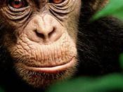 Disneynature Chimpanzés bande annonce l'affiche film