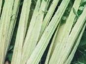 cardon, légume d'antan nouveau gout jour