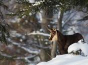 Chamois solitaire…