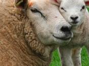 Pitié pour l'agneau pascal. Arrêtez massacre!