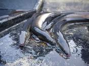 anguille extraite l'intestin d'un homme