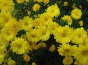 fleur chrysanthème dans pharmacopée chinoise