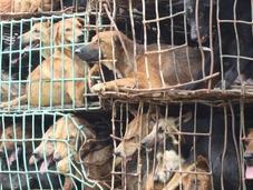 Trafic chiens Thaïlande