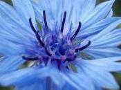 Bleuet points pour assurer belle floraison