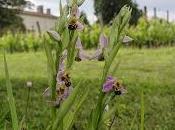 fleurs Mirebeau, avant fleur tant attendue