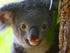 lieux admirer koalas Australie
