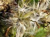 Solidago virgaurea subsp. alpestris (Solidage alpestre)