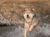 SNPN: Courrier Nature n°278 Spécial Loups