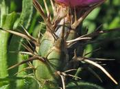 Centaurea calcitrapa (Centaurée chausse-trape)