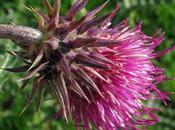 Carduus nutans (Chardon penché)
