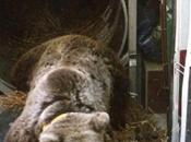 Comité Massif Quel contenu pour volet ours brun Stratégie Pyrénéenne valorisation Biodiversité?