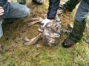 louve retrouvée Brigue empoisonnée