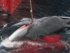 Chasse baleine massacre japonais