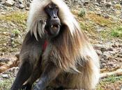 Arrivée singes géladas lémuriens d'Amnéville