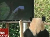 installe télévision pour panda dépressif