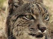 23/04 Lynx ibérique. espèce emblématique ibérique protéger.