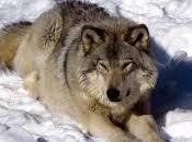 Sauvons loups, bouffons préfet