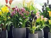 callas, Zantedeshias, Arum plante mois