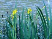 Iris pseudacorus, rois