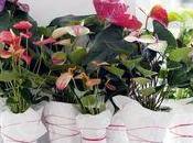 L'Anthurium, plante mois juin L'O.H.F.
