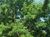 L'oranger Osages, fleurs