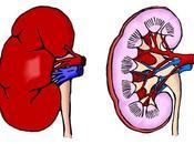 Anatomie systeme urinaire