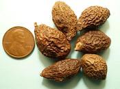 Fruit Scaphiglotte médecine chinoise