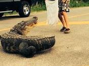 Ivre, aide alligator traversé route fait mordre