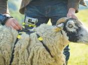 Insolite moutons pour filmer Tour France