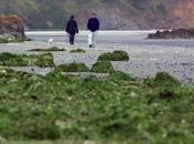 algues vertes continuent d'envahir plages l'Ouest