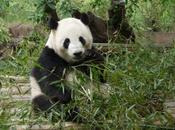 pandas Chengdu, trésor Chine