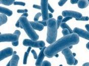 OBÉSITÉ MICROBIOTE: ramosum, bactérie stocke graisses mBio