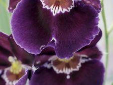 conseils soins pour l'Orchidée Cambria