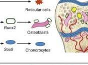 L'espoir d'une nouvelle thérapie cellulaire