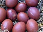 poule Marans, volatile star Salon l'agriculture