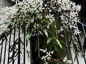 clématite armandii: fleurs parfumées feuillage persistant