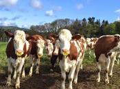 Farandole vaches Forez