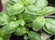 plantes aromatiques incontournables