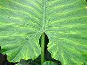 L'alocasia plante semi-tropicale très larges feuilles