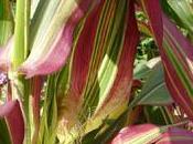 annuelle décorative: maïs