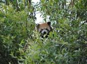 {biotropica} Visite juin 2015 anniversaire Ying panda roux)