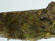 cicadelle curieuse morphologie...