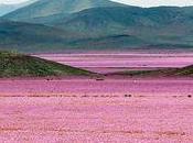 millions fleurs hautes couleur dans désert d'Atacama
