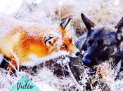 chien renard, jouet