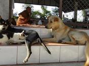 Thaïlande Chiens wat, enfer paradis