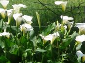 L'Arum d'Éthiopie, beau Calla blanc.